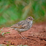 Rufous-winged Bushlark Stock Photography