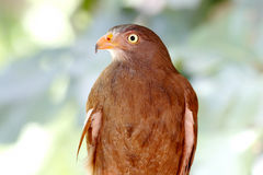 Rufous-winged Buzzard Butastur liventer Royalty Free Stock Images