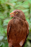 Rufous-winged Buzzard Stock Photography