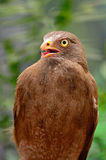 Rufous-winged Buzzard Royalty Free Stock Photo