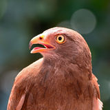 Rufous-winged Buzzard Royalty Free Stock Photography