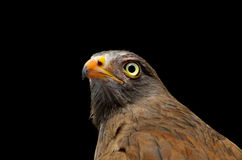 Rufous-winged Buzzard Stock Photos
