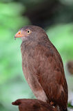 Rufous-winged Buzzard Stock Image