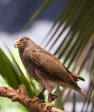 Rufous-winged Buzzard(Butastur liventer) Stock Images