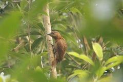 Rufous Woodpecker Royalty Free Stock Photos