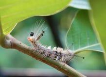 Rufowanie gąsienica Tussock ćma Zdjęcie Stock