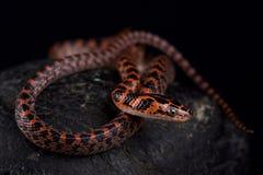 Rufozonatum rosso legato di Lycodon del serpente fotografia stock