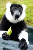 rufsad lemur Royaltyfri Bild