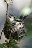 Rufus蜂鸟卷起了巢用鸡蛋 免版税图库摄影
