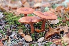 Rufus млечника Съестные грибки в после полудня осени Стоковая Фотография RF
