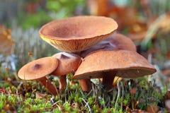 Rufus млечника Съестные грибки в Сибире Стоковое фото RF