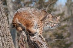 美洲野猫(天猫座rufus)在斯诺伊树桩蹲下 免版税图库摄影