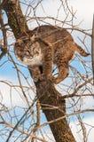 美洲野猫(天猫座rufus)在树蹲下伪装 免版税库存照片