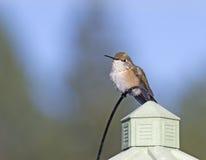 Женский колибри Rufus сидя на доме Стоковые Изображения RF