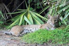 狂放的美洲野猫(天猫座rufus) 库存图片