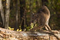 美洲野猫(天猫座rufus)在日志向左转 免版税库存照片