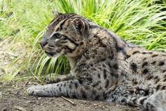Бойскаут младшей группы, rufus рыся Североамериканский одичалый кот связанный к рысю Стоковое Фото
