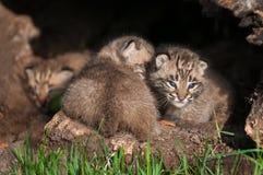 婴孩美洲野猫成套工具(天猫座rufus)在日志挤作一团 免版税库存图片