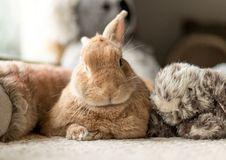 Rufus bunny rabbit looks cute surrounded by plush fluff toys in soft lighting, neutral tones. Rabbit, bunny rabbit, beautiful Rufus, tan and white rabbit indoors stock photography