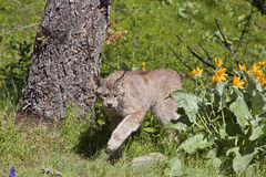 Rufus canadien de lynx Photo libre de droits