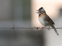 Rufus Collared Sparrow. The Rufus Collared Sparrow is a very common bird throughout South America Stock Image