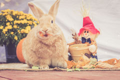 Rufus colored rabbit stands among fall decorations Royalty Free Stock Images