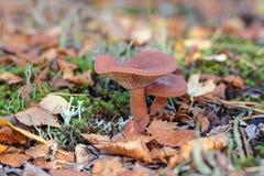 Rufus de Lactarius Deux champignons parmi une mousse et tombés-vers le bas Images stock
