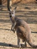 Rufus del Macropus di Canguro Rosso Fotografia Stock