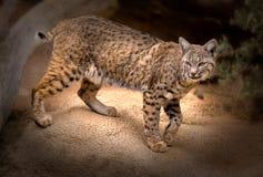 Rufus di Bobcat Lynx Fotografia Stock