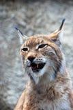Rufus di Lynx a backgroung grigio Fotografia Stock Libera da Diritti