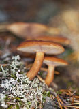 Rufus do Lactarius Fotografia de Stock
