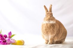 Rufus Easter Bunny Rabbit poses next to purple tulips and colored eggs room for text. Spring and Easter background stock photos