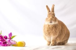 Rufus Easter Bunny Rabbit poses next to purple tulips and colored eggs room for text. Spring and Easter background stock photography