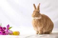 Rufus Easter Bunny Rabbit wirft nahe bei purpurroten Tulpen und farbigem Eiraum für Text auf stockfoto