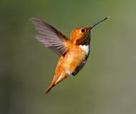 Rufus Hummingbird. Small Adult Male Rufus Hummingbird hovering royalty free stock image