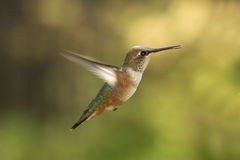 Rufus Hummingbird In Flight Royalty-vrije Stock Fotografie