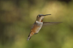 Rufus Hummingbird In Flight. Rufus humming bird in flight. potentially relating to travel Stock Photography