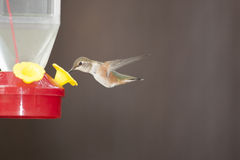 Rufus Hummingbird In Flight. Rufus humming bird in flight. potentially relating to travel Royalty Free Stock Photo