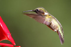 Rufus hummingbird hovering over a feeder Royalty Free Stock Photography