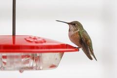 Rufus Hummingbird profile. Rufus Hummingbird sitting on a bird feeder Stock Image