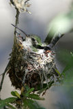Rufus hummingbird tucked in a nest with eggs Royalty Free Stock Photography