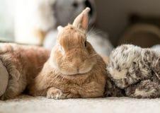 Rufus królika królik patrzeje ślicznego otaczającego pluszowymi fluff zabawkami w miękkim oświetleniu, neutralny brzmienia fotografia stock