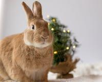 Rufus królika pozy przed małą choinką z miękkim światłem, pokój dla teksta obraz stock