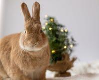 Rufus królika pozy przed małą choinką z miękkim światłem, pokój dla teksta obrazy stock