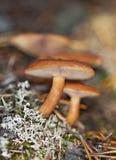 rufus lactarius Стоковая Фотография