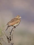 Rufus naped lark wild bird in natural habitat. Adult Rufus naped lark in natural habitat, perched on thorn tree twig Stock Photos