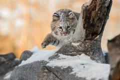 Rufus Paw Up di Bobcat Lynx sul ceppo Fotografia Stock