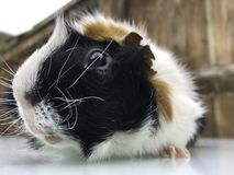 Rufus the Guinea Pig. Rufus the pet Guinea Pig enjoying the freedom out of his cage stock image