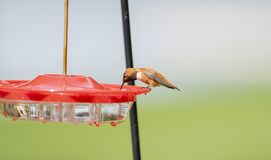 Rufus Rufous brillant de Selasphorus de colibri de mâle adulte photo stock