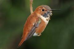 蜂鸟红褐色rufus selasphorus 库存照片